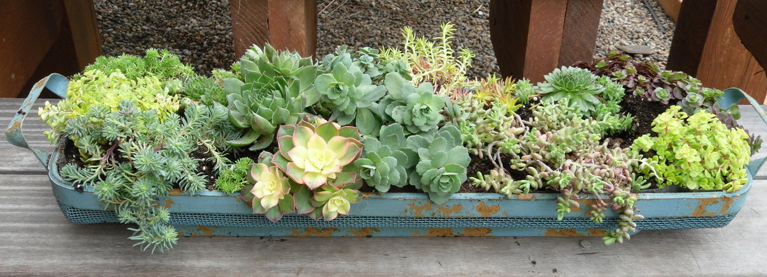 Bits of whimsy to share work of whimsy - How to make a succulent container garden ...